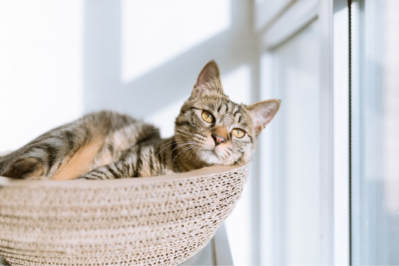 CBD for Cats and its amazing benefits